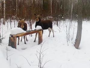 Численность лосей в Нижегородской области выросла более чем в два раза за 10 лет