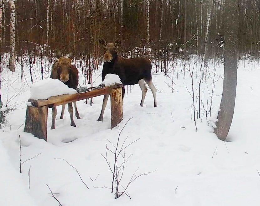 Численность лосей в Нижегородской области выросла более чем в два раза за 10 лет - фото 1