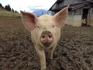 Карантин по африканской чуме свиней снят в двух районах Нижегородской области