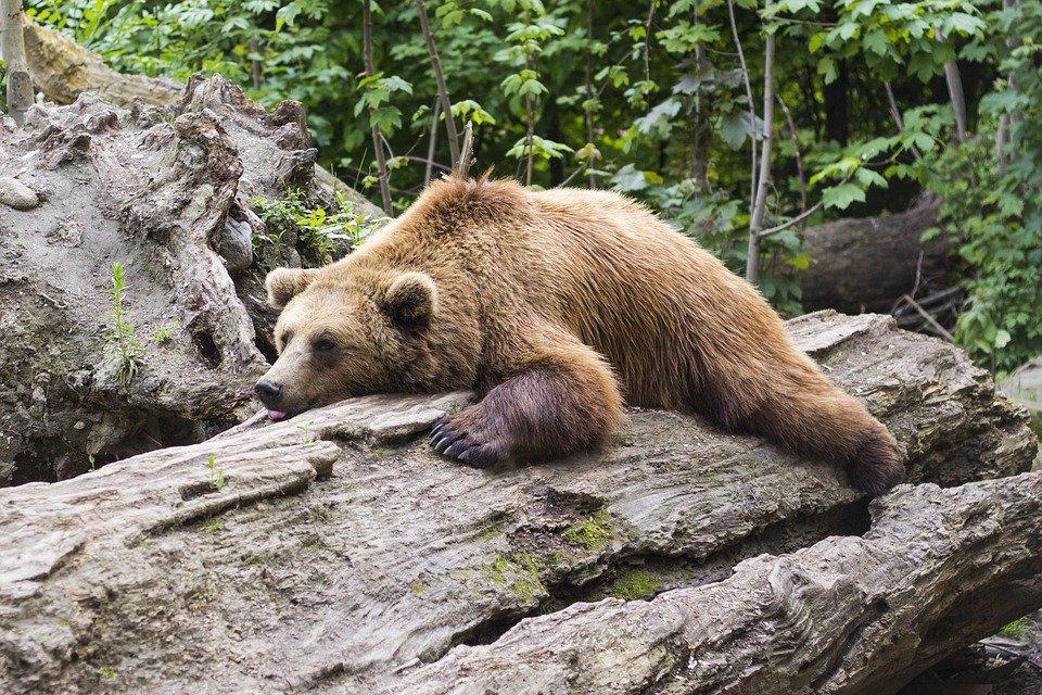 Что делать, если в лесу вы повстречали медведя: инструкция по выживанию - фото 1