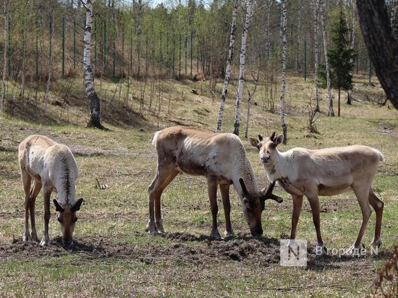 Специалиста по уходу за северными оленями ищет Керженский заповедник - фото 1