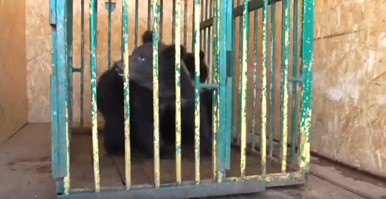 Медвежат, выросших в зоопарке «Мишутка», выпустят в Керженский заповедник - фото 1