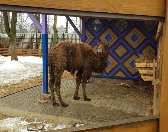 Два верблюда переехали из нижегородского зоопарка «Мишутка» - фото 1
