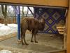 Два верблюда переехали из нижегородского зоопарка «Мишутка»