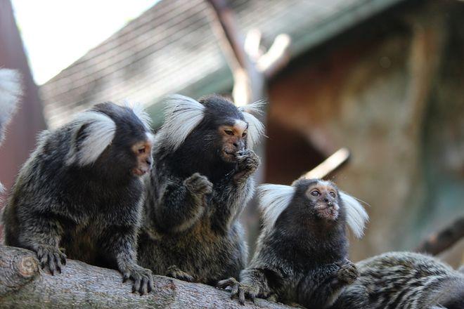Маленькие игрунки появились на свет в нижегородском зоопарке - фото 4